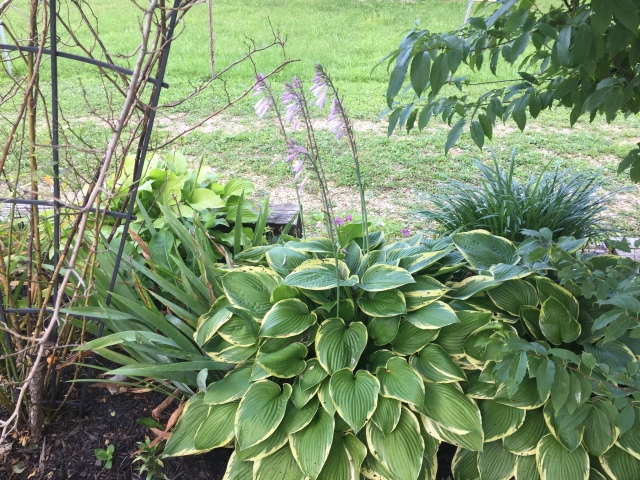 Hostas - Toward End of Bloom
