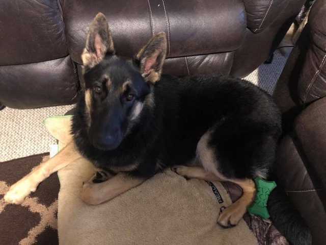 Joe Pearce - German Shepard Female - Luna