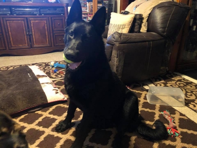 Joe Pearce - German Shepard Male - Ruger